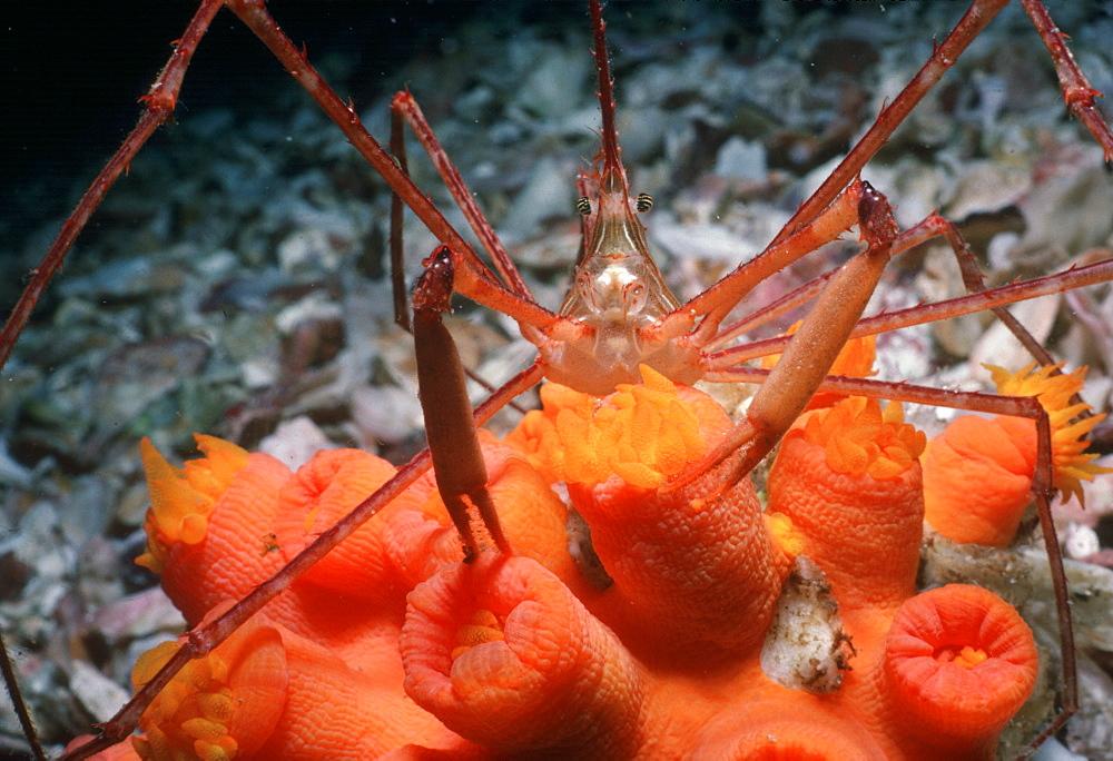 Spider crab.   (rr)