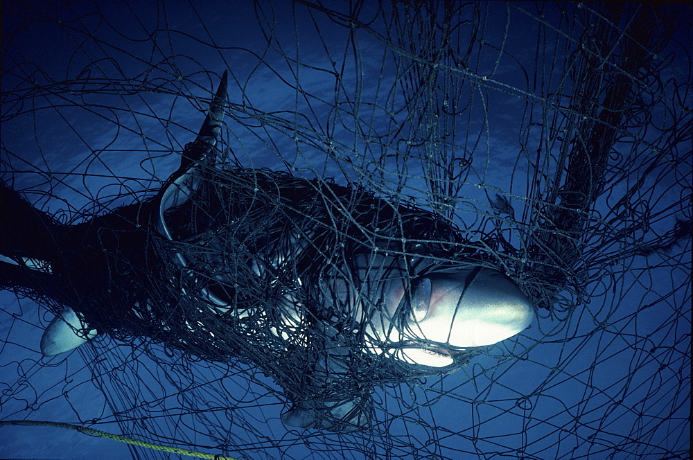 Thresher Shark in gill net   (rr)