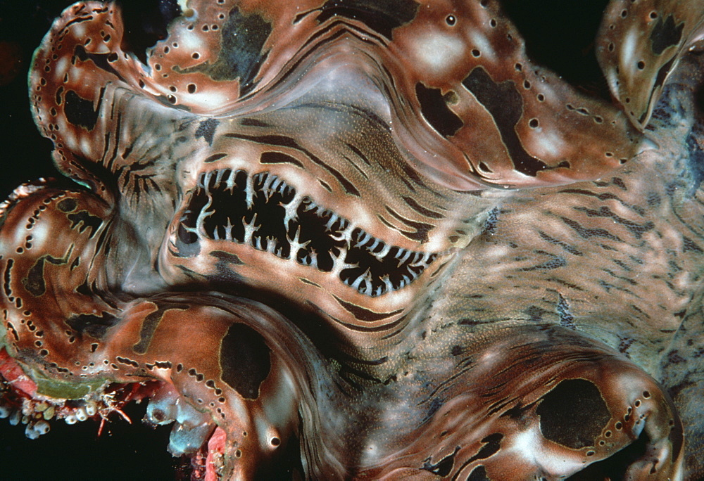 Giant clam (Tridacna gigas).