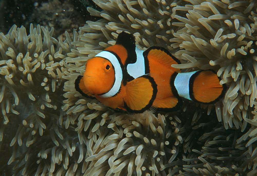 Clown anemonefish (Amphiprion percula). Indo Pacific - 1015-42
