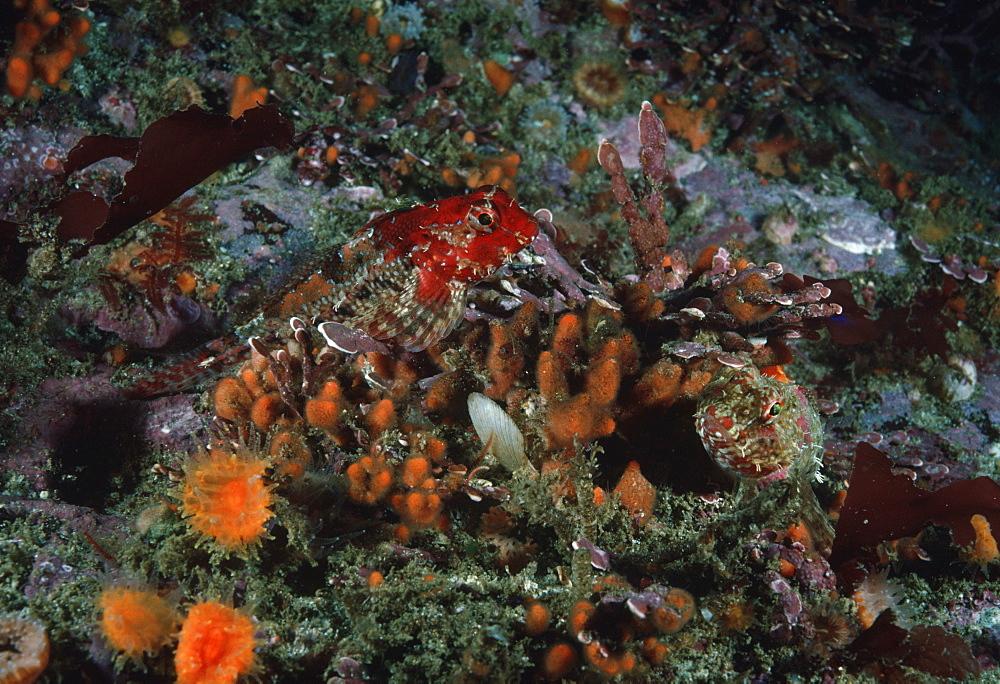 Snubnose sculpin (Orthonopias triacis). USA, Channel Islands, CA