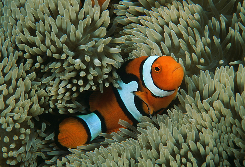 Clown anemonefish (Amphiprion percula).