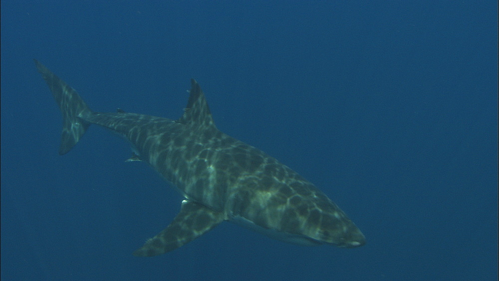Great white shark (Carcharodon carcharias) swims. Guadelupe Island, Mexico - 1015-643