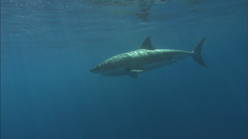 Great white shark (Carcharodon carcharias) swims. Guadelupe Island, Mexico - 1015-652
