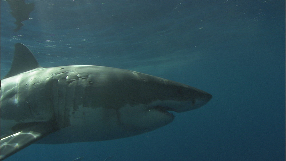 Great white shark (Carcharodon carcharias) swims past camera. Guadelupe Island, Mexico - 1015-658