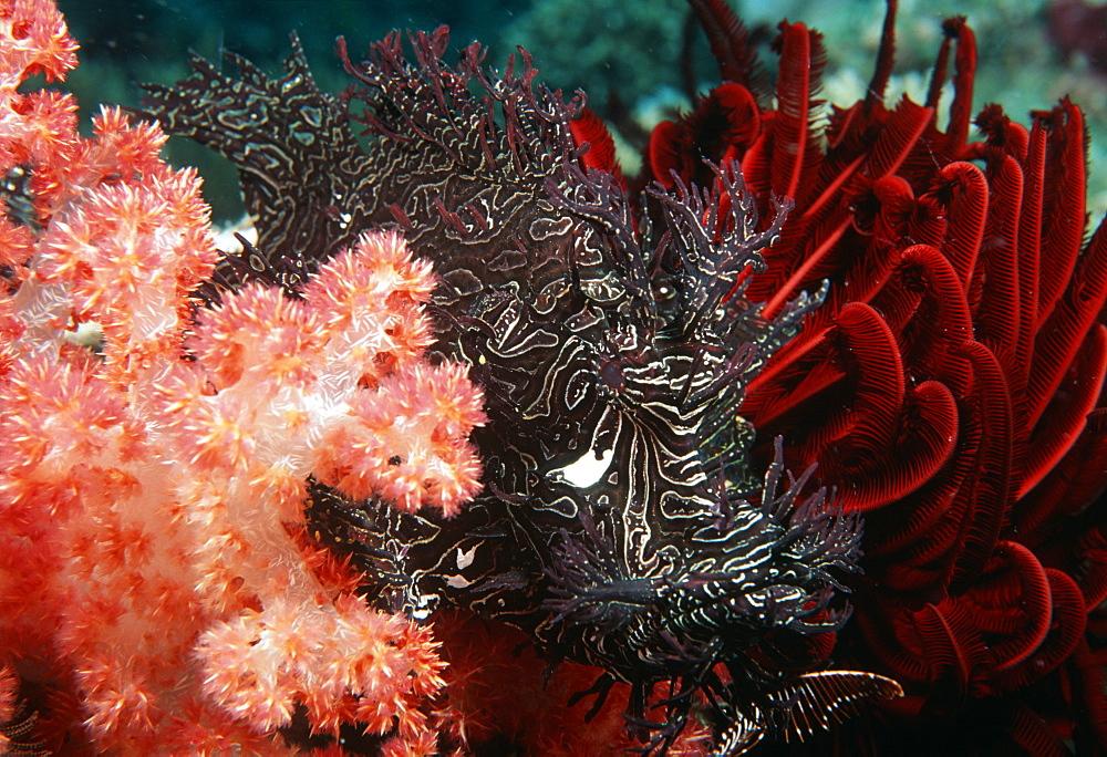 Leafy Scorpionfish between soft coral & crinoid (Rhinopius aphenes). Indo Pacific