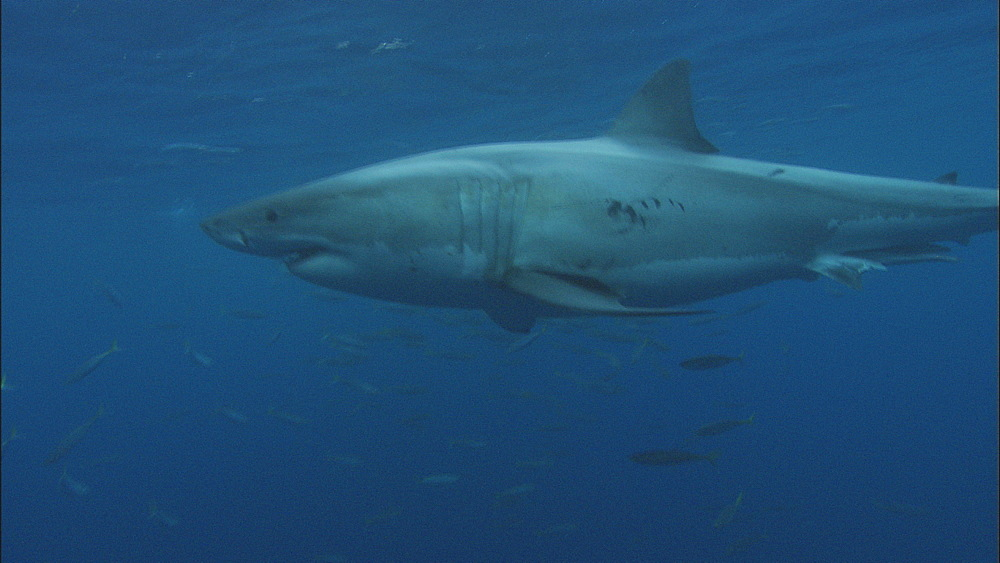 Great white shark (Carcharodon carcharias) swims past baitfish. Guadelupe Island, Mexico - 1015-660