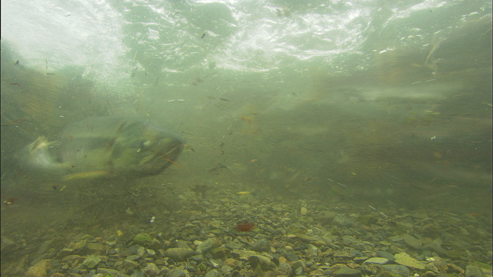Pink salmon (Oncorhynchus gorbuscha), underwater massed fish racing past camera in shallow river. Prince William Sound, Alaska - 1015-668