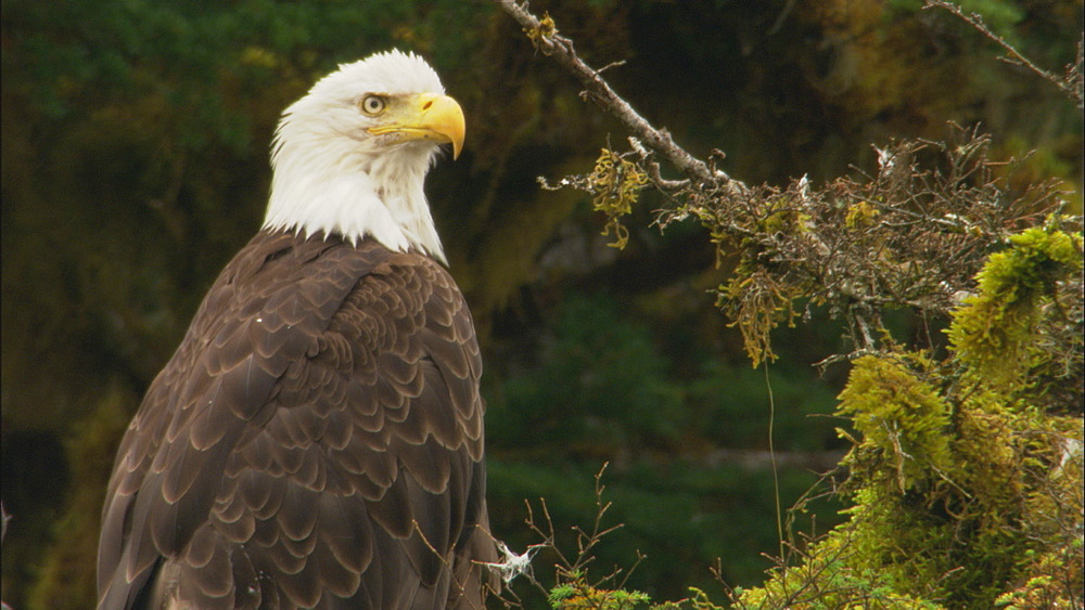 Bald Eagle (Haliaeetus leucocephalus) looking over waters. Prince William Sound, Alaska - 1015-671