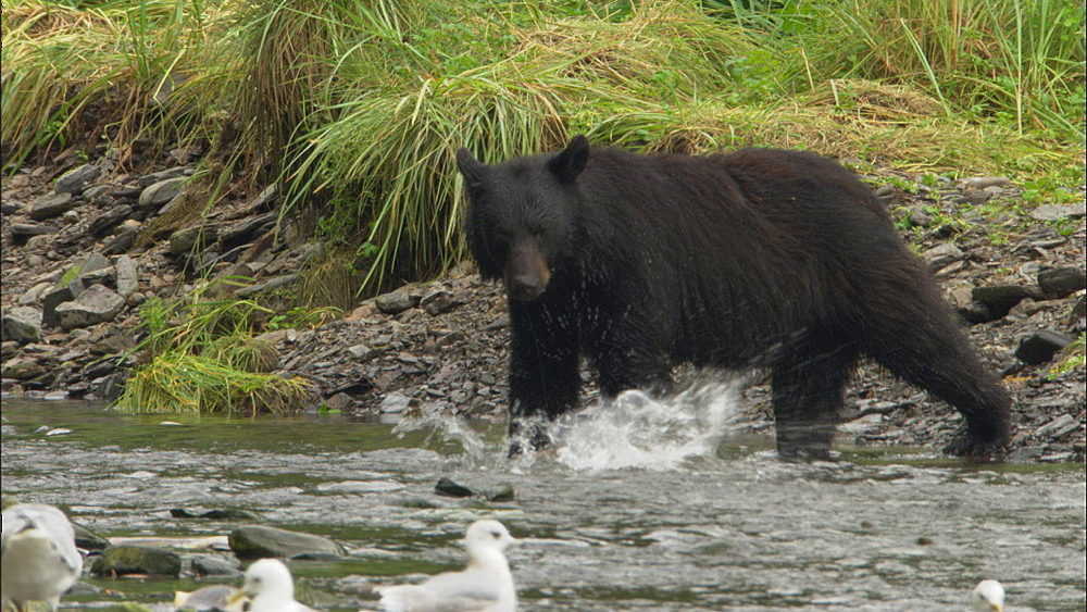 Black bear (Ursus americanus) sniffs at salmon then returns to stream to catch more.  Prince William Sound, Alaska - 1015-674