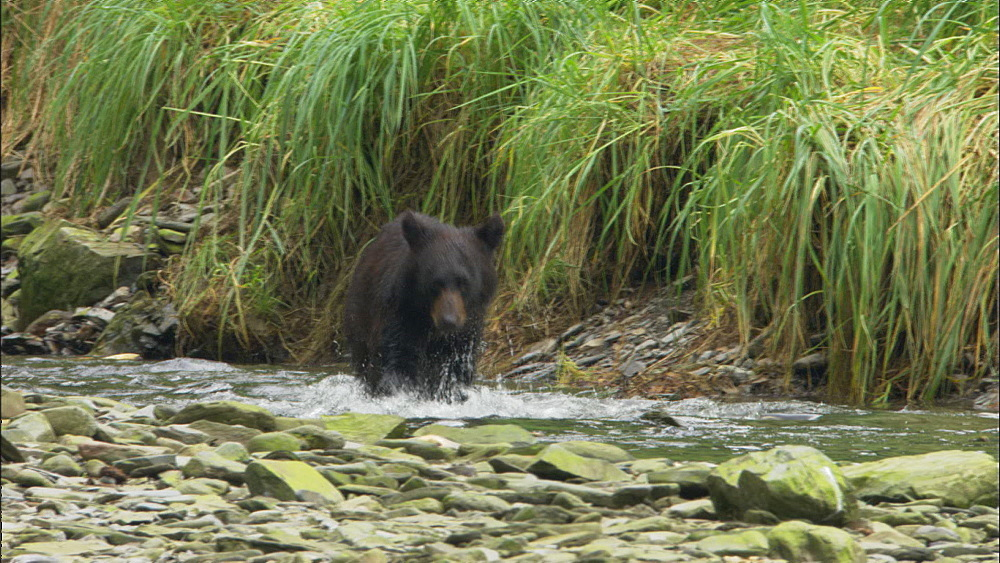 Black bear (Ursus americanus) runs after slamon, catches one and drops it.  Prince William Sound, Alaska - 1015-680