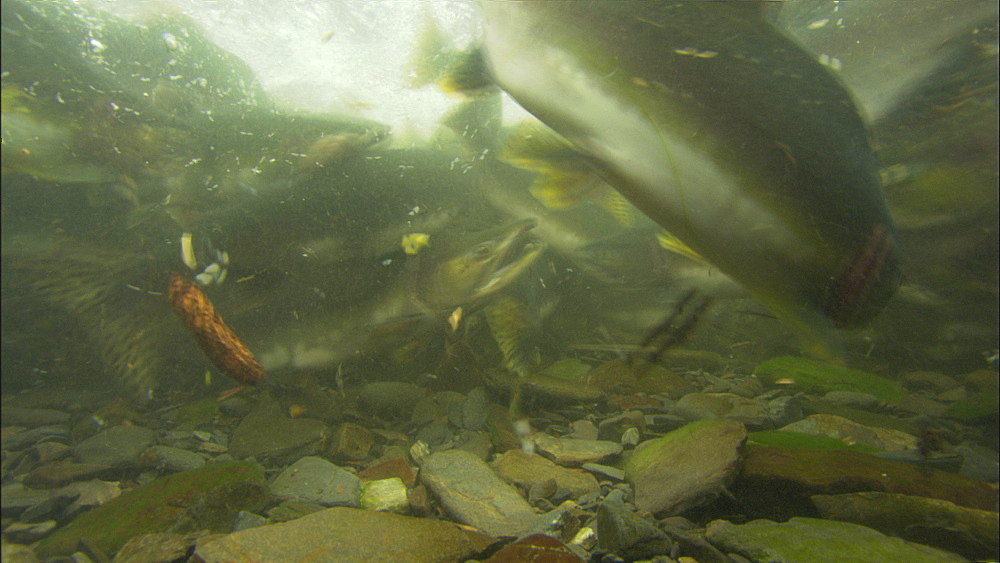Pink salmon (Oncorhynchus gorbuscha), underwater massed in shallow river. Prince William Sound, Alaska - 1015-684