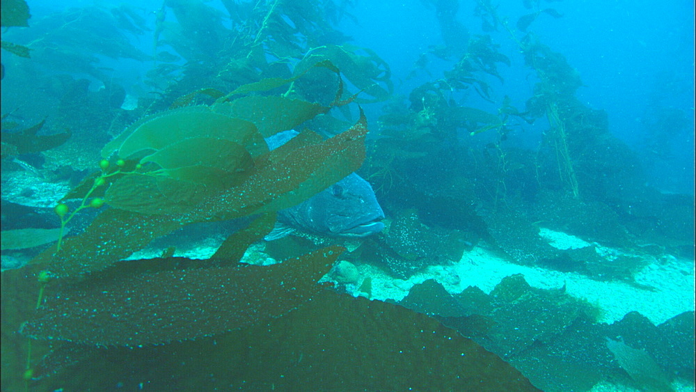 Giant Black Sea Bass (Stereolepis gigas) in kelp forest. Channel Islands, California, USA - 1015-706