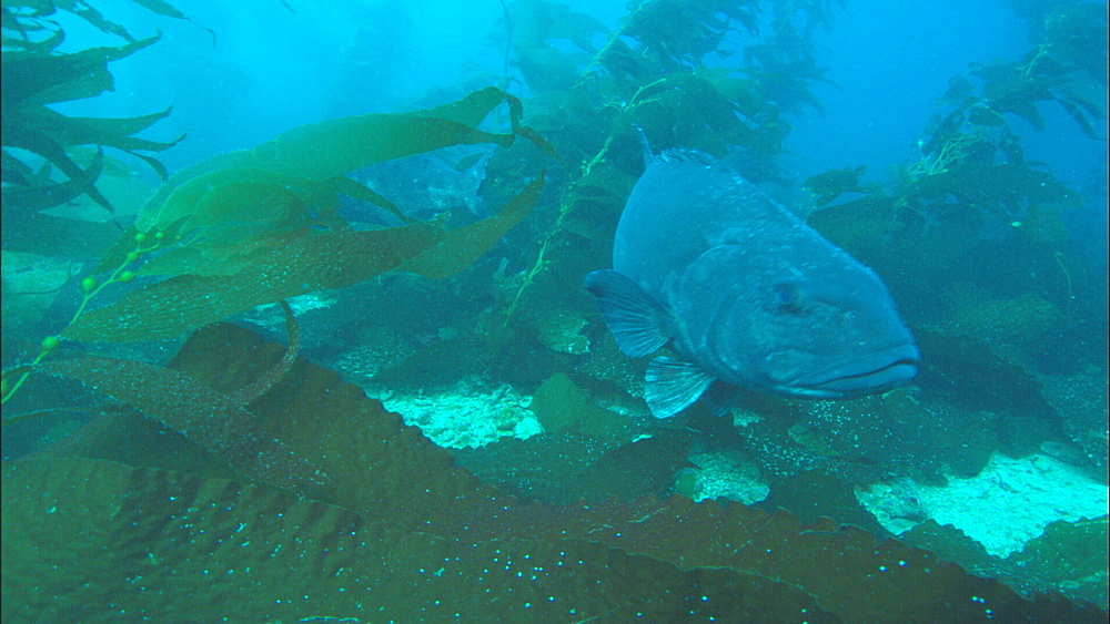 Giant Black Sea Bass (Stereolepis gigas) in kelp forest. Channel Islands, California, USA - 1015-708