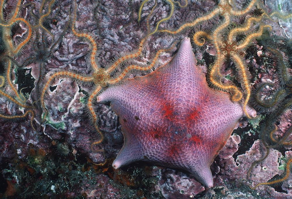 Bat star with brittle stars (Patiris miniata  ). USA, Channel Islands, CA