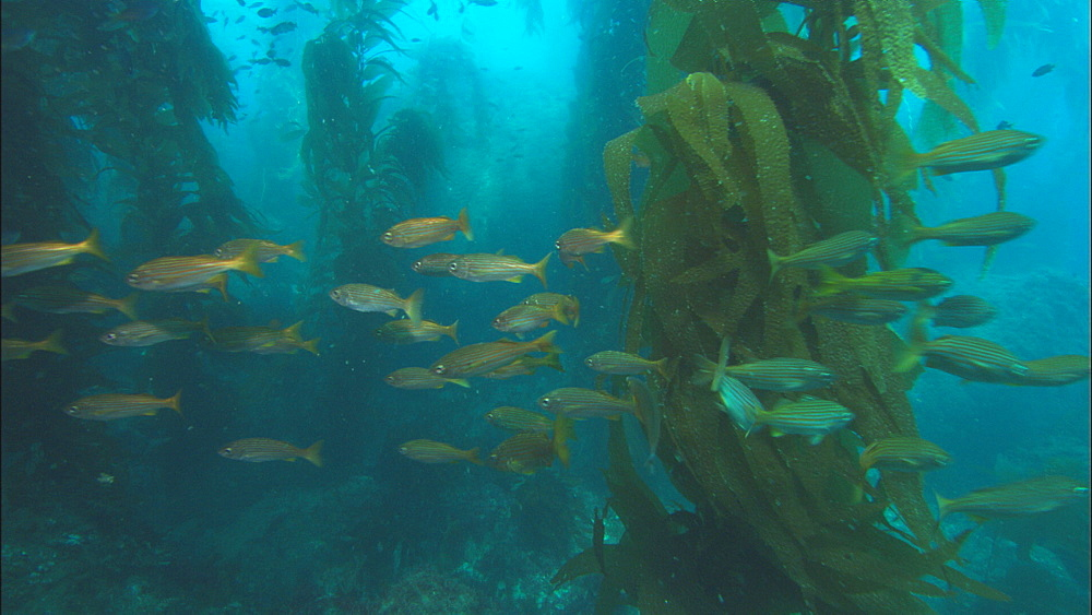 Fish (currently unidentified) in kelp forest. Channel Islands, California, USA - 1015-714