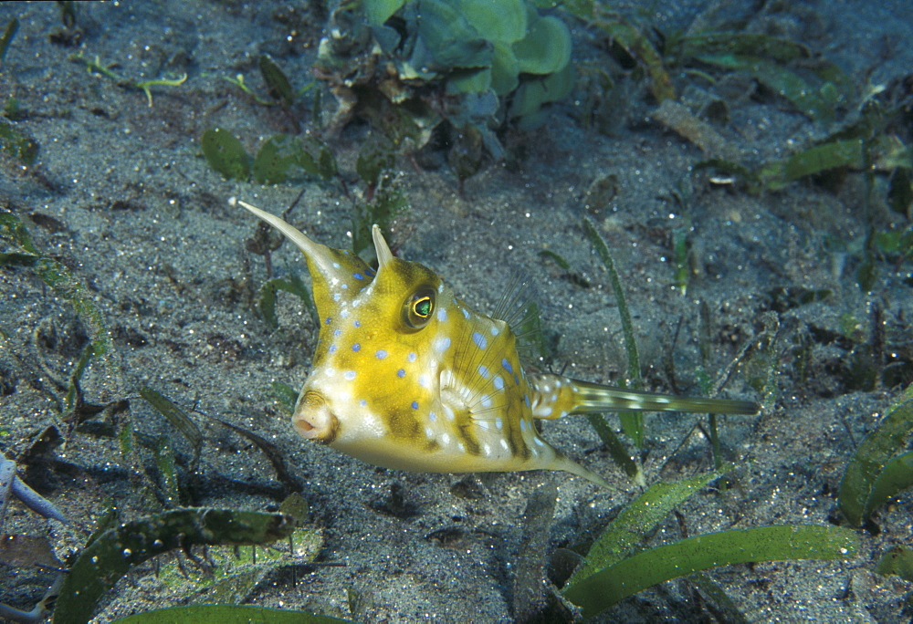 Boxfish (Lactoria sp). Indo Pacific