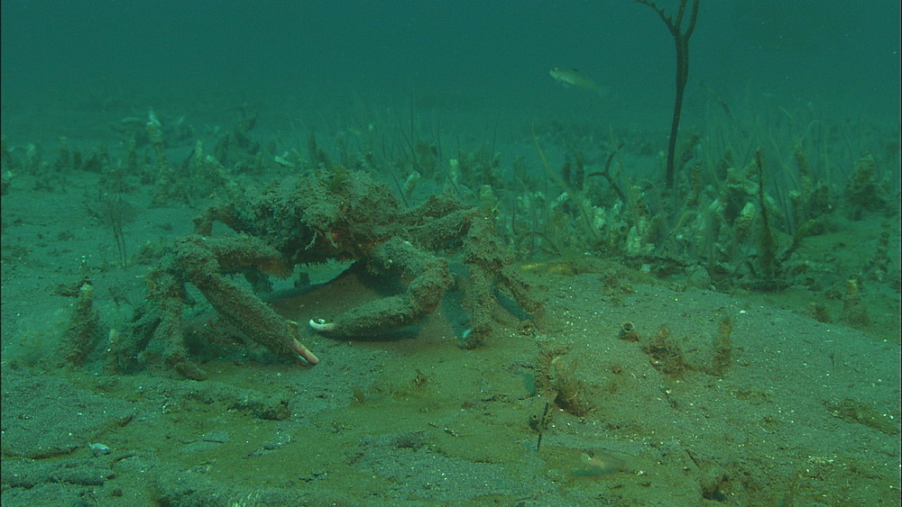Sheep crab (Loxorhychus grandis). Channel Islands, California, USA