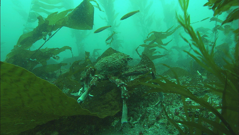 Sheep crab (Loxorhynchus grandis) in kelp and shallow surge. Channel Islands, California, USA
