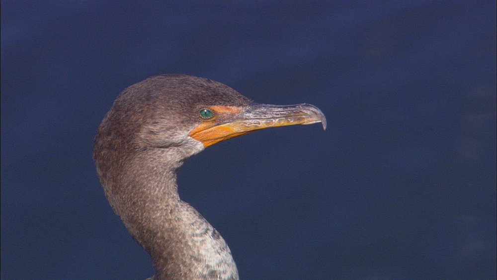 Double crested cormorant (Phalacrocorax auritus) detail of head. Everglades NP, Florida, USA