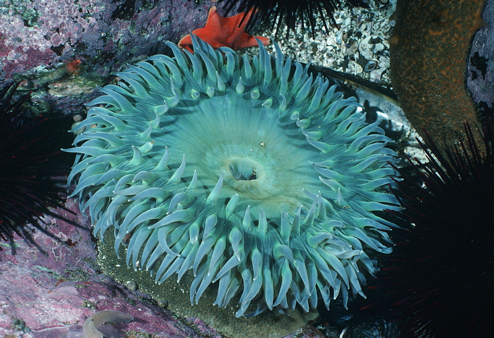 Green anemone (Anthopleura xanthgrammica). USA, Channel Islands, CA