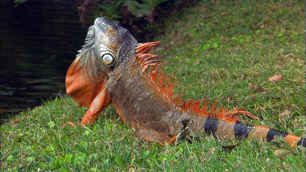 Common iguana (Iguana iguana) alien in Florida. Everglades NP, Florida, USA