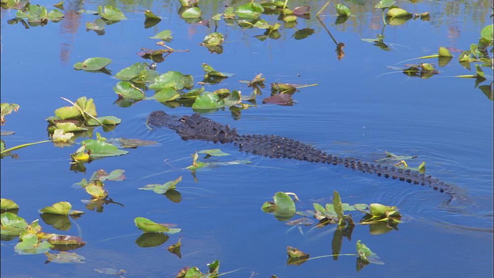 American alligator (Alligator mississippiensis) swimming, blue water. Everglades NP, Florida, USA