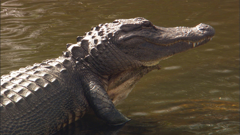 American alligator (Alligator mississippiensis). Everglades NP, Florida, USA