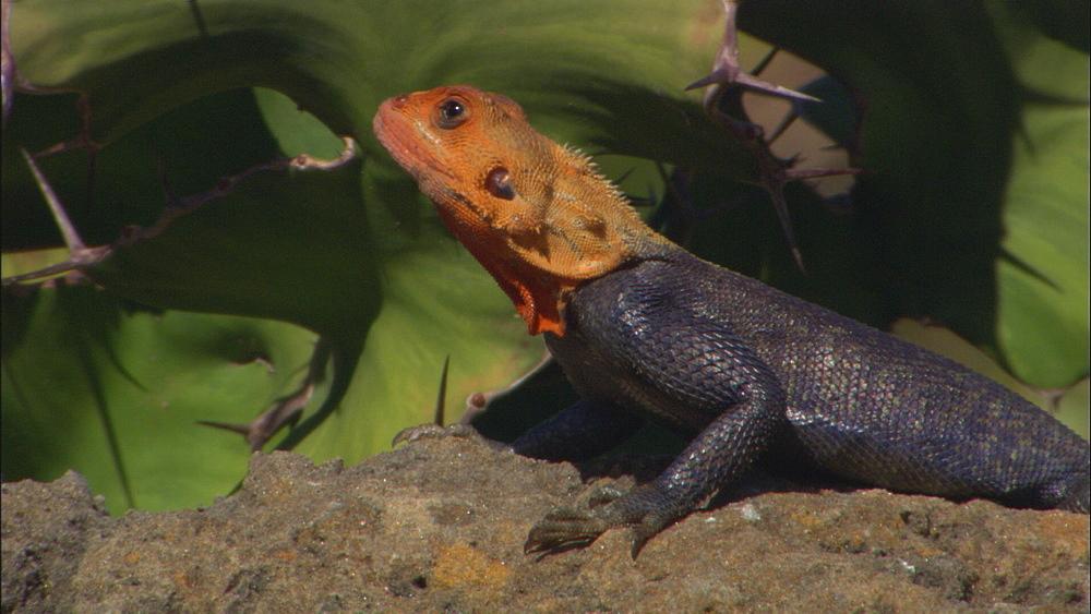Agama lizard (Agama agama?), alien in Florida. Florida, USA