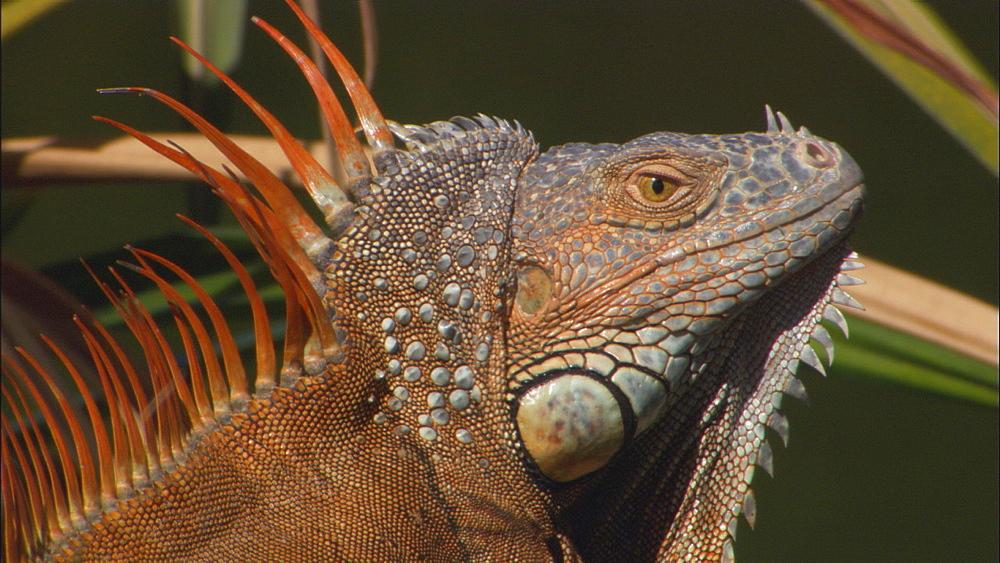 Common iguana (Iguana iguana) male shakes head aggressively, alien species.  Florida, USA
