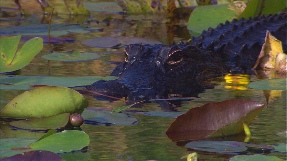 American alligator (Alligator mississippiensis) in water.  Everglades NP, Florida, USA