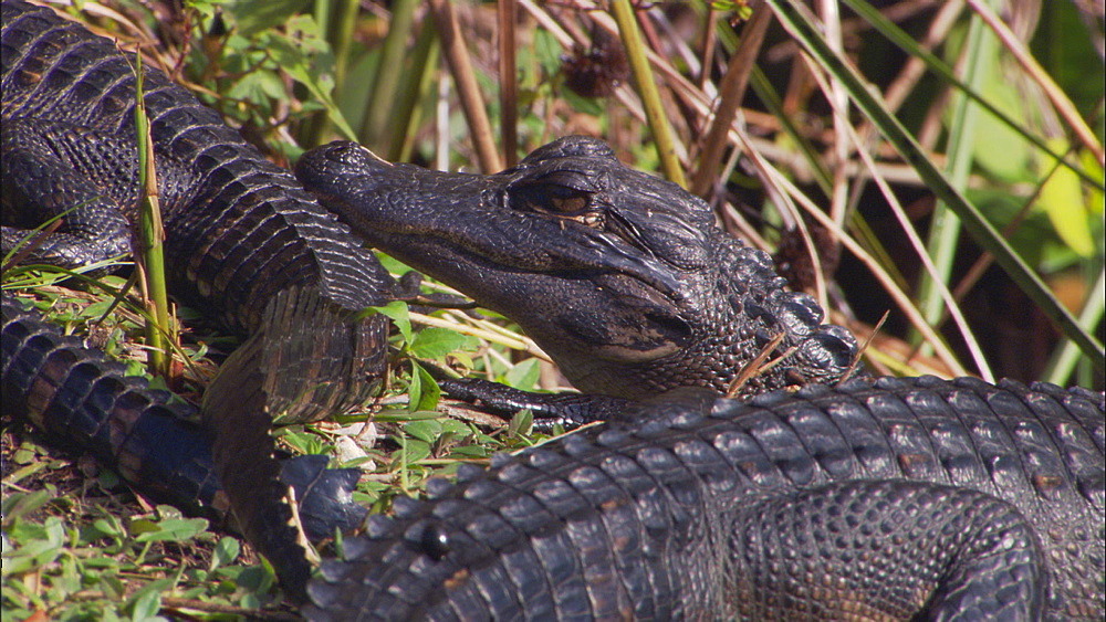 American alligator (Alligator mississippiensis) juveniles on bank, MCU. Everglades NP, Florida, USA