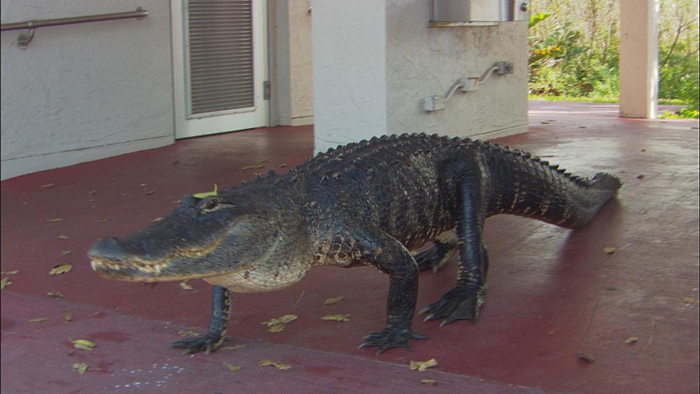 American alligator (Alligator mississippiensis) walking on suburban porch.  Everglades NP, Florida, USA
