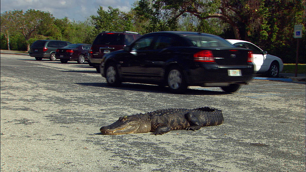 American alligator (Alligator mississippiensis) lying down in parking lot.  Everglades NP, Florida, USA