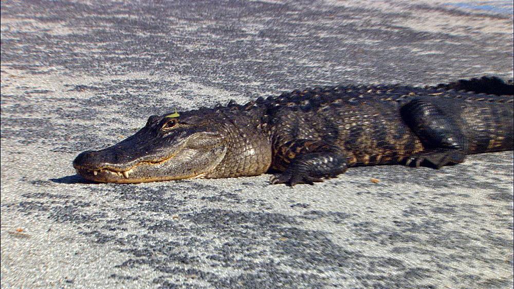 American alligator (Alligator mississippiensis) lying down in parking lot, CU to midshot.  Everglades NP, Florida, USA