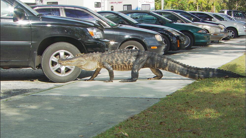 American alligator (Alligator mississippiensis) walking by parked cars.  Everglades NP, Florida, USA