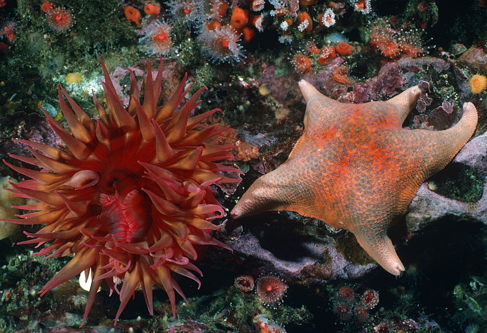 Anemone and bat star.USA, Channel Islands, CA