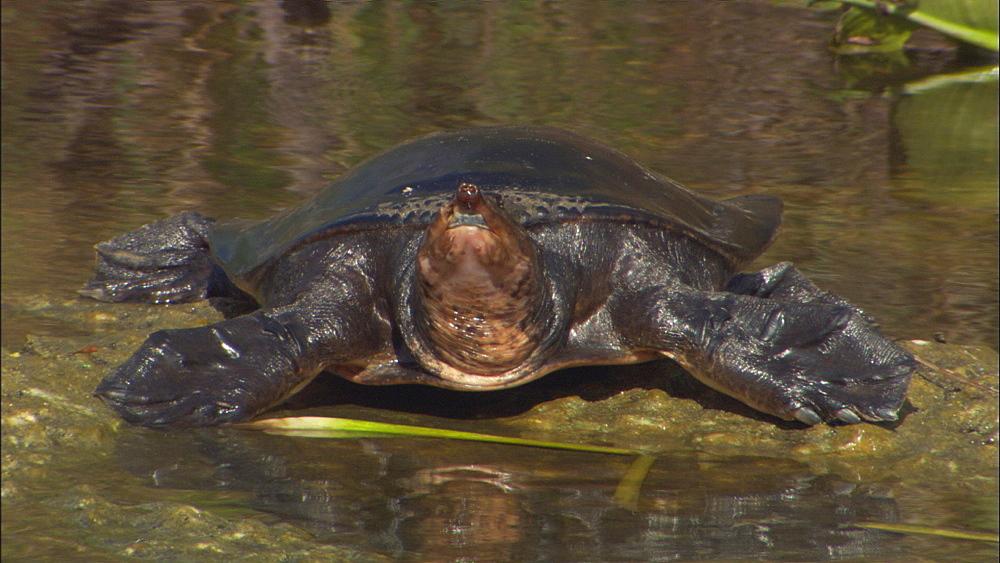 Soft-shelled turtle (Apalone ferox) basking.  Everglades NP, Florida, USA