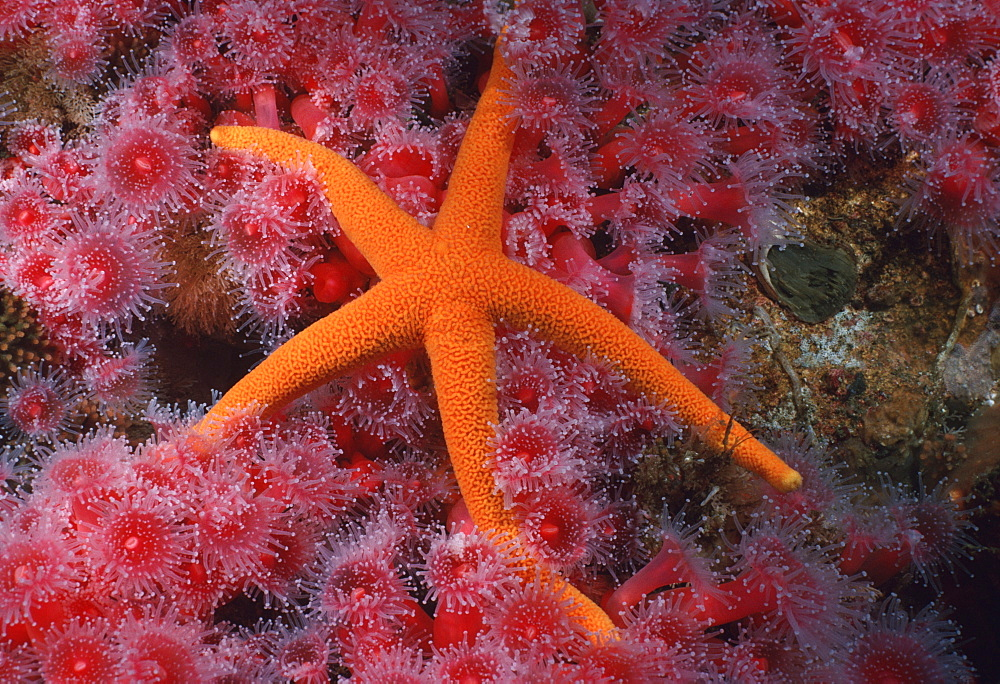 Blood star & Corynactus anemones (Henricia leviuscula). USA, Channel Islands, CA