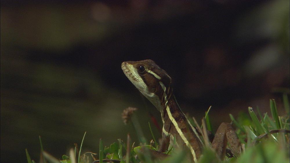 Basilisk lizard (Basiliscus basiliscus), alien species. Florida, USA