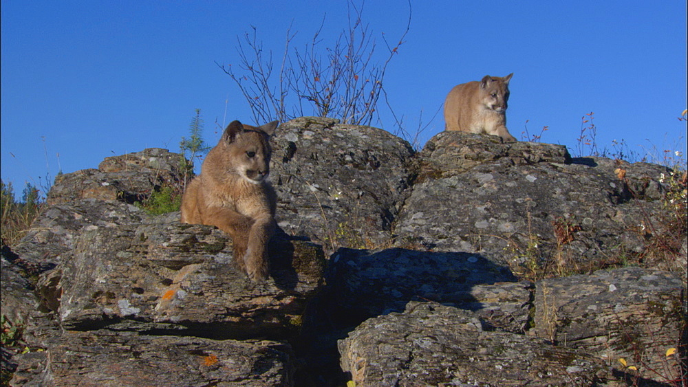 Juvenile Mountain lion (Felis concolor) pair on rocks.  Northern Montana, USA - 1015-820