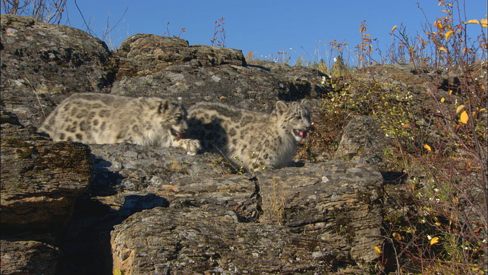 Snow leopards (Uncia uncia) on rocks, closer - captive animals.  Northern Montana, USA - 1015-828