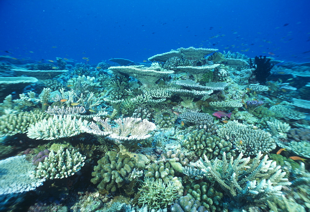 Hard (plate) coral reef.Indo Pacific