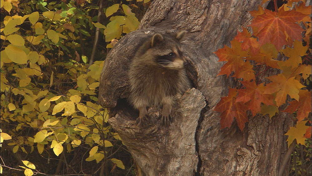 Raccoon ( Procyon lotor) peers from hole in trunk; autumn. Northern Montana, USA - 1015-848