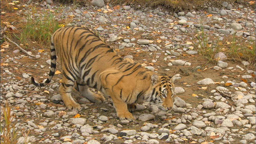 Siberian tiger (Panthera tigris altaica) licking at old stream bed - captive animal.  Northern Montana, USA