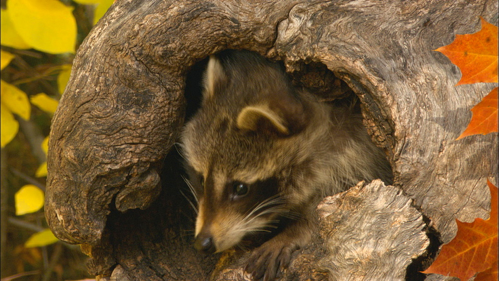 Raccoon ( Procyon lotor) peers from hole in trunk; autumn. Northern Montana, USA - 1015-859