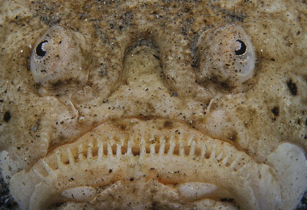 Stargazer. Close-up of face (Uranoscopus bicintus). Indo Pacific