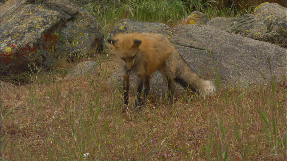 Red fox ( Vulpes vulpes fulva) with vole. Northern Montana, USA - 1015-866