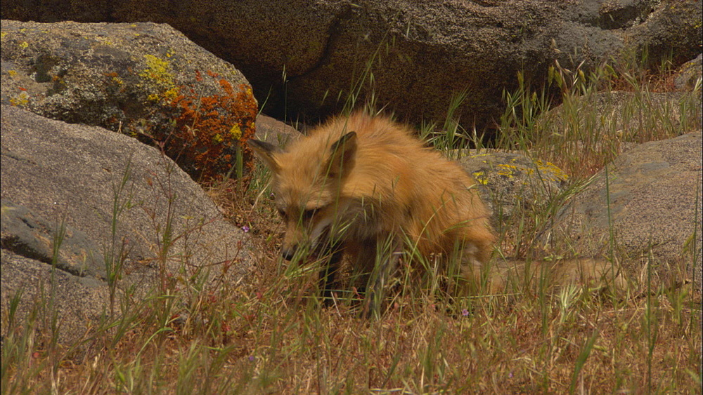 Red fox ( Vulpes vulpes fulva) with vole. Northern Montana, USA - 1015-871