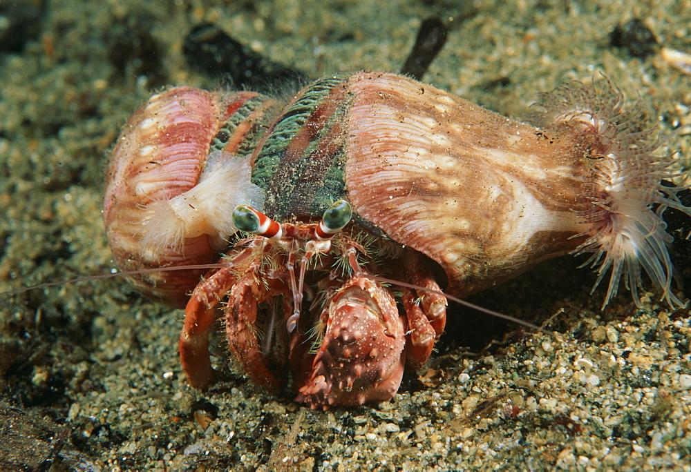 Decorator crab (Cyclocoeloma tuberculata). Indo Pacific